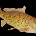 Replicas Inc Common Carp